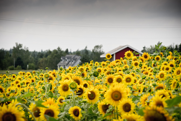 Road side Sunflowers in summer